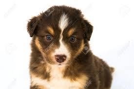 australian shepherd puppy cut red tricolor australian shepherd puppy stock photo picture and
