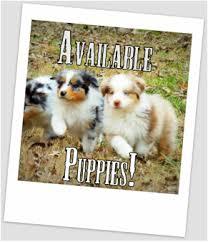 life with australian shepherd quality mini australian shepherd puppies for sale