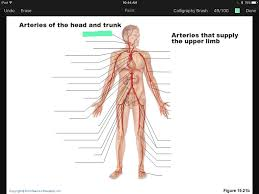 Anatomy And Physiology Muscle Labeling Exercises Artery And Vein Labeling Quiz Flashcards Easy Notecards