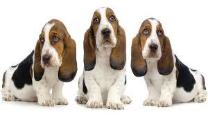 basset hound puppies pictures diet breeding facts habitat