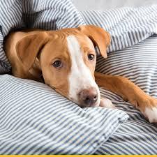 afghan hound in apartment afghan hound