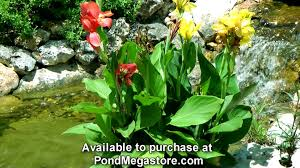 cana lilly aquatic cannas in water garden grow pond plants