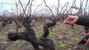 chambre d agriculture d indre et loire chambre d agriculture indre et loire 11 taille de la vigne apres