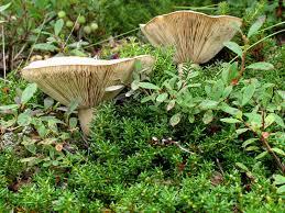 alaska u0027s mushrooms is peasant cap a species west vista urban
