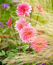 great ornamental grasses to grow with your favorite dahlias