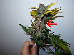 Shade Cloth Protecting Your Plants by Cannabis Leaf Symptoms U0026 Plant Problems Marijuana Nutrient