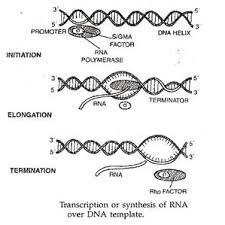 transcription or synthesis of rna over dna template