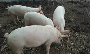 pigs sale south wales livestock gumtree australia