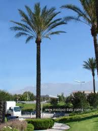 date palm tree for medjool date palm trees for medjool dates file