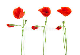 poppies flowers trio of poppies flowers isolated stock image image of image