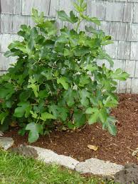 brown turkey fig tree for sale the planting tree