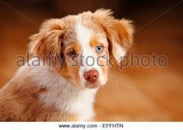 australian shepherd red merle puppy miniature australian shepherd blue merle dog sitting its