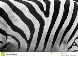 zebra pattern free download zebra pattern close up black and white stripes stock photo image