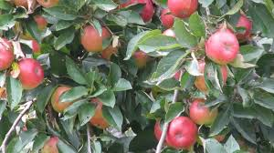 scion plant heritage apples satyr fen farm