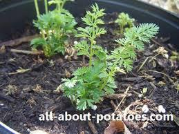 potted vegetable garden