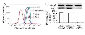 autophagy is associated with cell fate in the process of