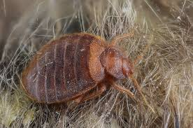Bed Bug Nest Pictures Pictures Of Bed Bugs Bed Bug Guide