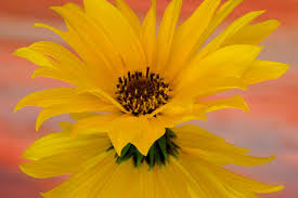 flower yellow flower beautiful nature hd background hd 16 9 high