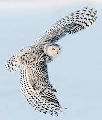 snowy owl backside photo by scott linstead www
