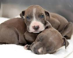 american pitbull terrier puppies for adoption s c a r s pit bull rescue pibbles available for adoption