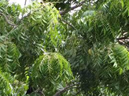 file neem tree leaves jpg wikimedia commons