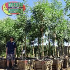 pistache trees