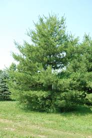 white pine trees white pine trees for your home pine tree landscaping