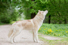 wolf side stock photos royalty free images