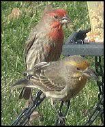 Backyard Birds Utah Backyard Birds Utah A Rainbow Of Finches