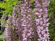 Fragrant Climbing Plants - wisteria vines u0026 climbing plants ebay