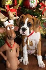 boxer dog xmas the dog ate the santa suit