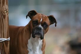 boxer dog jaw 10 sporty facts about boxers mental floss