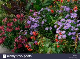 Combination Color Red Begonia Blue Aster Wine Maroon Alstromeria Mix Mixed Bed