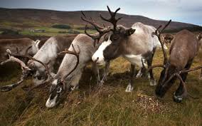 reindeer becoming smaller due to global warming research finds