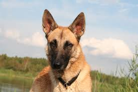 belgian sheepdog florida our husky red wolf mix pics
