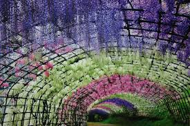 japan flower tunnel wisteria flower tunnel in japan festivity