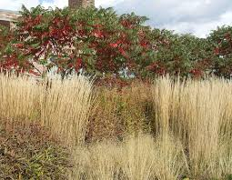 8 best staghorn sumac images on birch bonsai seeds