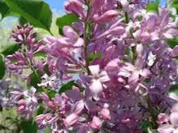 lilac bush veroniqque