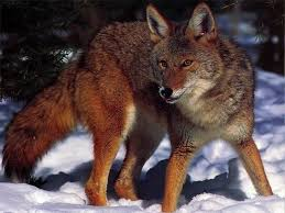 Can Coyotes See Red Light A Coyote U0027s Tales