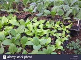 lettuce latuca and brassicas cabbage in small pots awaiting