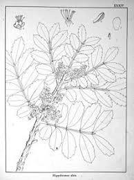 47 best botanical illustration images on pinterest botanical
