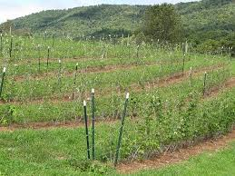 Rasberry Trellis Why You Should Be Growing Black Raspberries Growing Produce