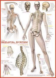 Human Anatomy Terminology 17 Best Skeletal Images On Pinterest Skeletal System Human