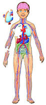 human body with organs www harvard wm org pinterest human