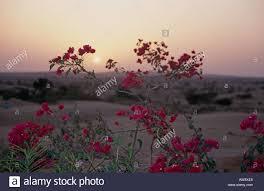 thar desert flowers at sunset western rajasthan india stock