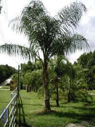 Tree For Home Decoration Outdoor U0026 Garden Triple Robellini Palm Tree For Home Landscaping