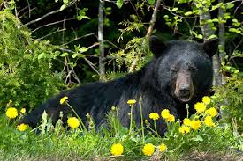 Are Bears Color Blind Black Bear Facts Information And Photos American Expedition