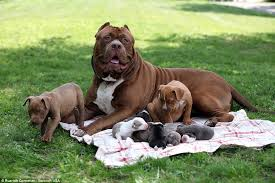 american pitbull terrier puppies for sale uk hulk the world u0027s biggest pitbull cuddles up to his litter of