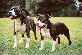 american pitbull terrier vs amstaff staffordshire bull terrier dog breeds at mypetsmart com