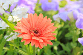 Flower by File A Daisy Flower Jpg Wikimedia Commons